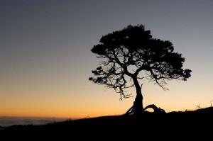 Koa tree